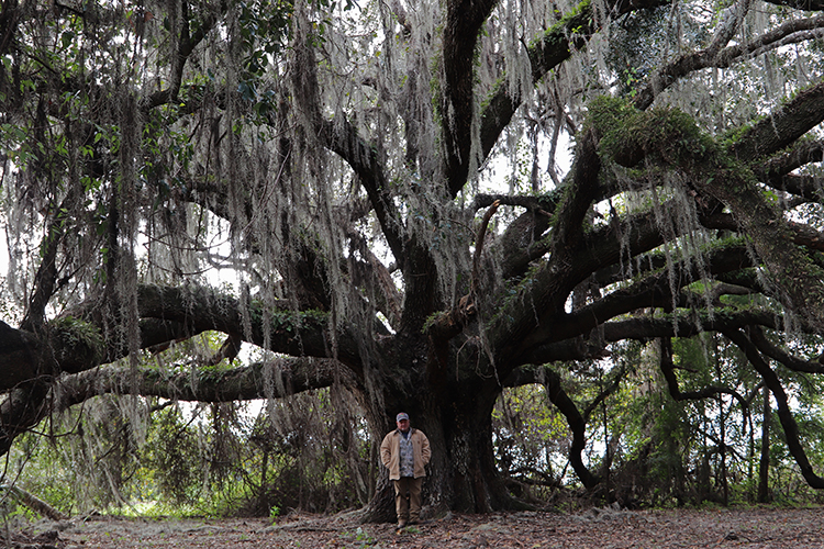 Adult Live Oak tree
